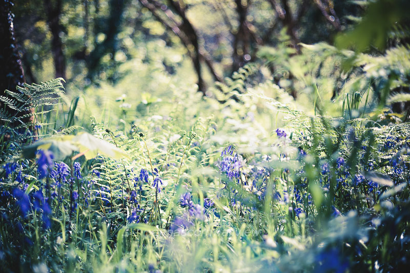Picture - bluebells in the allen valley