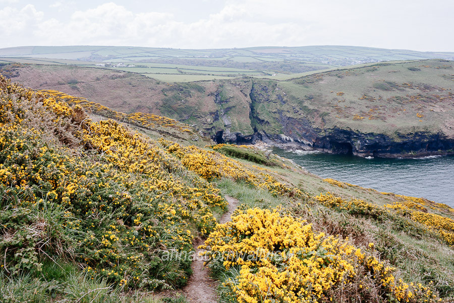 Picture of flowering gorse near Pentargon hanging valley